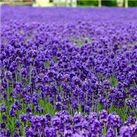 供应 薰衣草种子 蓝紫色花海品种