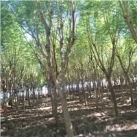 云南地区供应 蓝花楹 营养美植袋苗