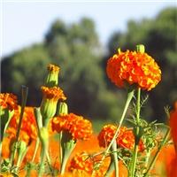 辽宁省万寿菊种子东北万寿菊种子厂