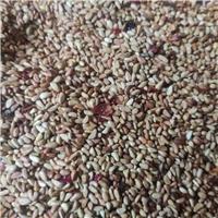今年新�� 红刺玫种子 厂家批发价格