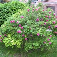 今年新�� 蔷薇种子 耐寒品种 发芽率高