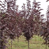 供应 紫叶稠李种子 当年新货 沙藏催芽