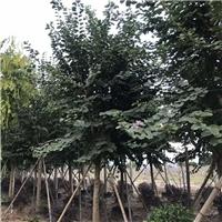 福建漳州地区基地直销价格优质宫粉紫荆