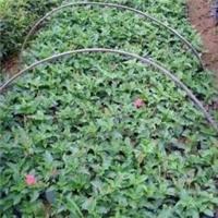 江西赣州的大花芦莉冠幅30的价格是多少厂