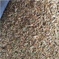 今年新进 早熟禾种子 当年新货 发芽率高