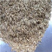 批发 紫羊茅种子 净度98% 发芽率85%