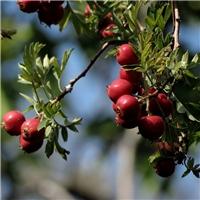今年新�� 山里红种子 沙藏低温沉积处理