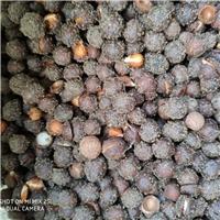 现货供应 小桃红种子 厂家批发价格