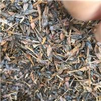 供应 三角枫种子 冬季沙藏催芽处理厂
