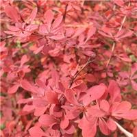 批发 红叶小檗种子 刺激皮肤价格