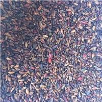 批发 红叶小檗种子 刺激皮肤价格厂