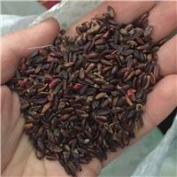 批发 红叶小檗种子 人工水洗 发芽率高