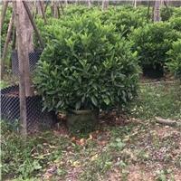 湖南长沙非洲茉莉球绿化行道树非洲茉莉球