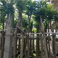 漳州益盈园艺场大量批发澳洲火焰木