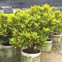 风景树海南洒金出售各种规格品种