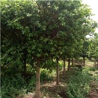 规格全品种多的红皮榕广西南宁大量出售厂