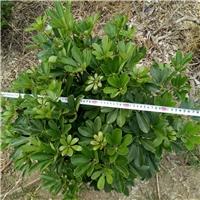 各种优质绿化苗木鸭脚木报价低价鸭脚木厂