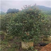 绿化园林观赏树种植可选红叶石楠球种植厂