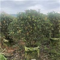 绿化园林观赏树种植可选红叶石楠球种植