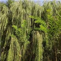无极县低价批发柳树、榆树、杨树