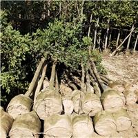 益盈绿化园艺场长期供应各种规格黄花风铃木厂