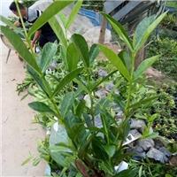 各种优质绿化苗木5公分五彩仙丹苗木价格厂