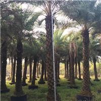 中东海枣高5+6米的价格出售多少