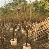 优质绿化品种梅花梅花品种多厂