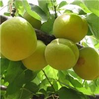 无极县出售杏树、枣树、桃树等/产地直销