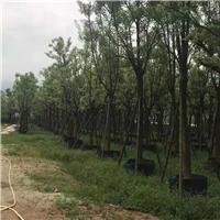 大型绿植观赏树景观树景观全冠香樟厂