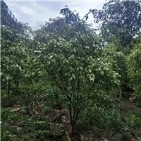 批发庭院小区绿化苗木花叶垂叶榕