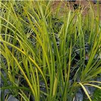 基地农户种植种植绿化品种金叶石菖浦