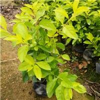 浙江温州基地常年供应大量黄金叶绿化品种