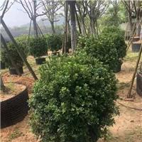 批发工程园林米兰球绿化苗价格150元起