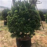 批发工程园林米兰球绿化苗价格150元起厂