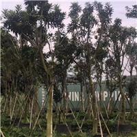 黄金熊猫自然高350-450的价格是多少元起