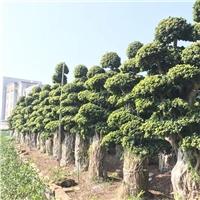 福建造型小叶榕优良品种价格合理小叶榕
