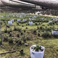 漳州基地农户种植棕竹袋苗特价直销厂