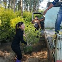 漳州哪里的黄金宝树便宜质量品种好