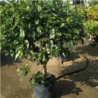 绿化苗木四季秋海棠有多大规格