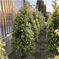 精品黄金垂榕绿化苗品质好价格低厂