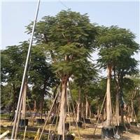 福建园林工程苗凤凰木价格