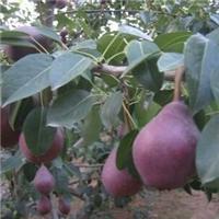 秋月梨苗当年种植次年结果 秋月梨苗价格 秋月梨苗产地