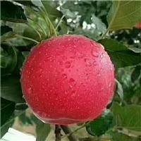 维纳斯黄金苹果苗晚熟的黄苹果苗品种 维纳斯黄金苹果苗价格厂