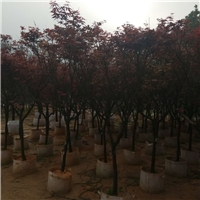 多规格红枫大量供应景观树红枫厂