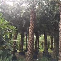 厂家直销供应庭院景观树中东海枣树厂
