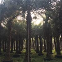 厂家直销供应庭院景观树中东海枣树