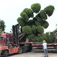 贵州产地直销精品树造型树小叶榕批发厂