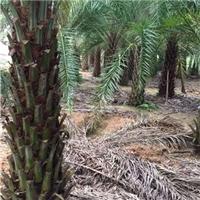 杆高1-6米的中东海枣风景树低价格厂