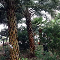 杆高1-6米的中东海枣风景树低价格